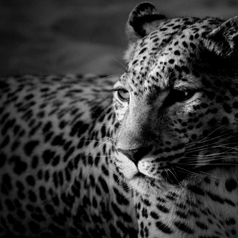 10 Best Black And White Leopard Wallpaper FULL HD 1920×1080 For PC Desktop 2020 free download cool leopard 50 best black and white wallpapers 800x800