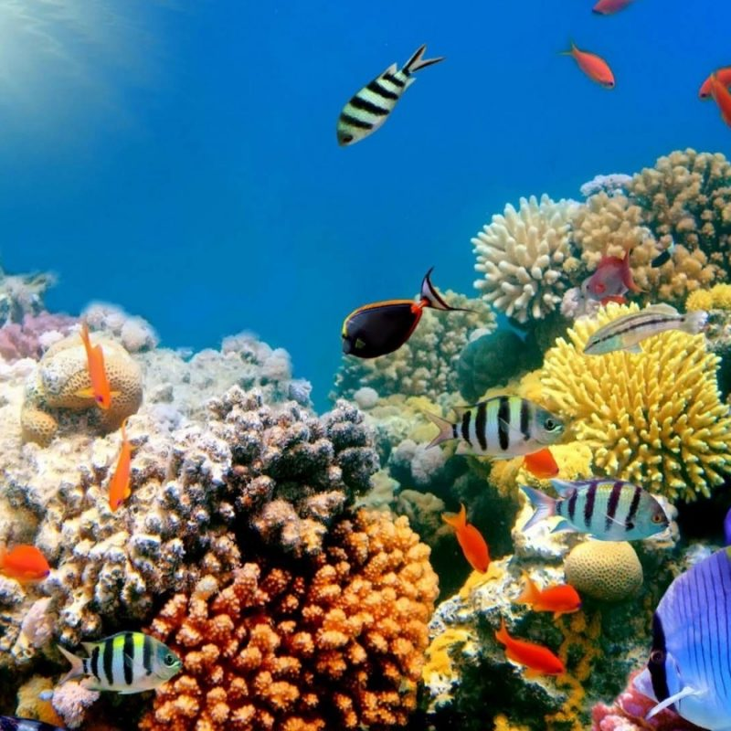 10 New Colorful Coral Reefs Wallpaper Hd FULL HD 1080p For PC Desktop 2020 free download coral reef wallpapers hd group 76 2 800x800
