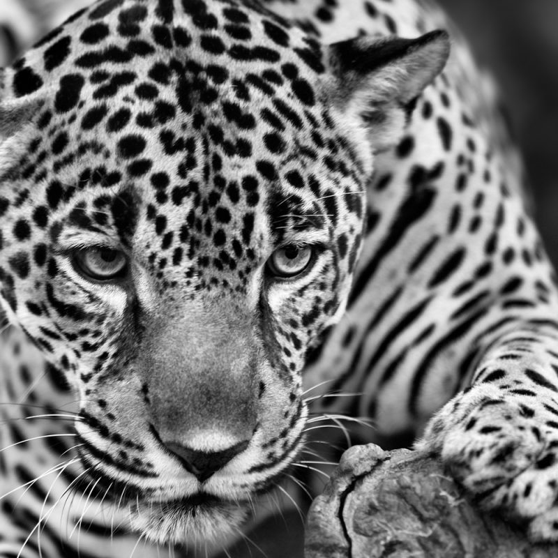 10 Latest Black And White Jaguar Pictures FULL HD 1920×1080 For PC Desktop 2020 free download costa rica 2013 black and white portraits bruce and tamy leventhal 800x800