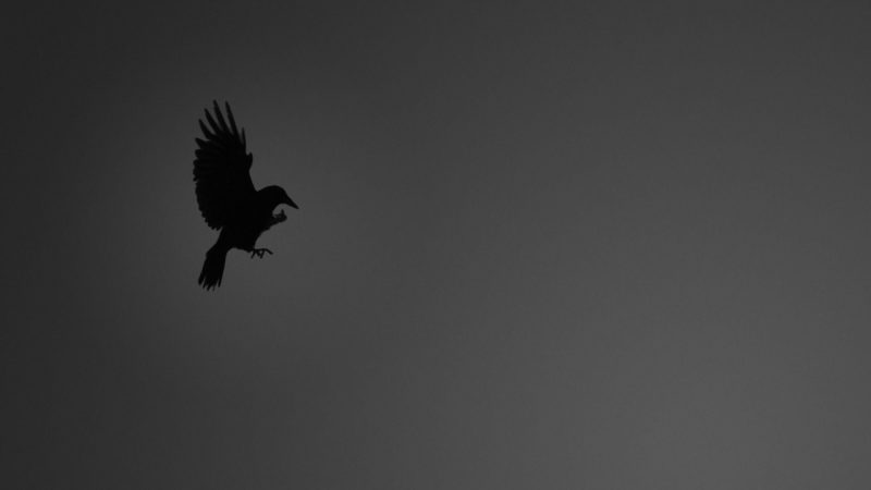 10 Top Black Crow Wallpaper FULL HD 1920×1080 For PC Background 2020 free download crow wallpapers wallpaper cave 800x450