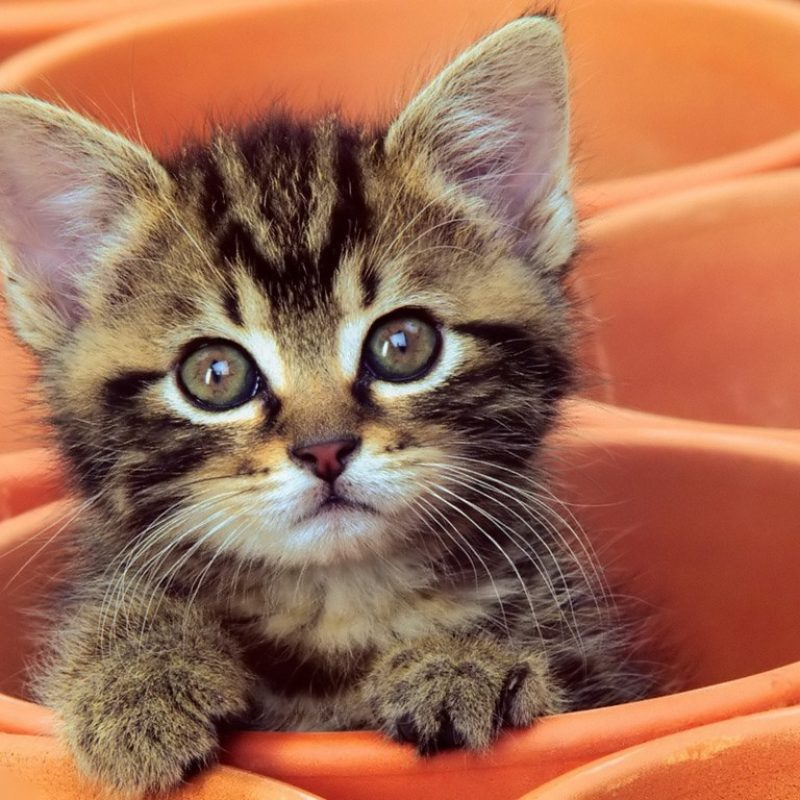 10 Most Popular Cute Kitten Pictures Free FULL HD 1920×1080 For PC Background 2018 free download curious kitten desktop wallpaper high quality wallpapers 800x800
