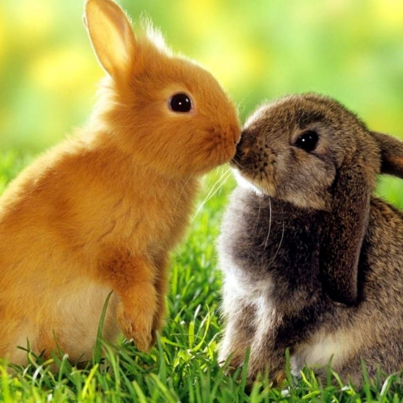 10 Most Popular Cute Baby Bunny Images FULL HD 1920×1080 For PC Desktop 2020 free download cute baby bunny wallpaper best image background 800x800