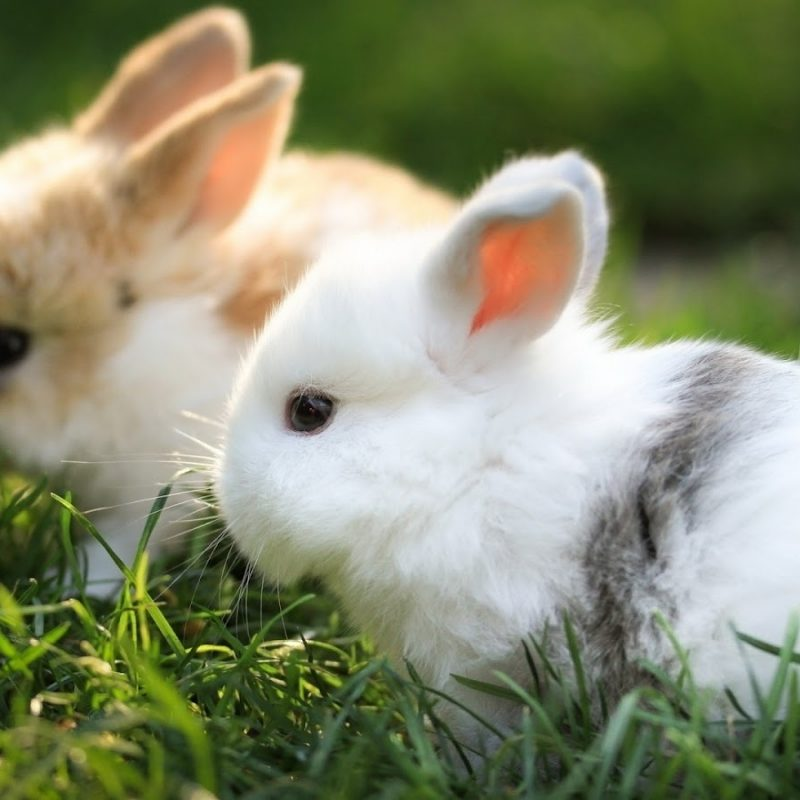 10 Most Popular Cute Baby Bunny Images FULL HD 1920×1080 For PC Desktop 2020 free download cute baby bunny wallpapers awesome hdq live cute baby bunny 800x800
