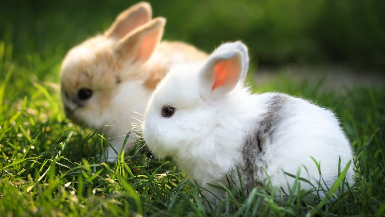 cute baby bunny wallpapers, awesome hdq live cute baby bunny