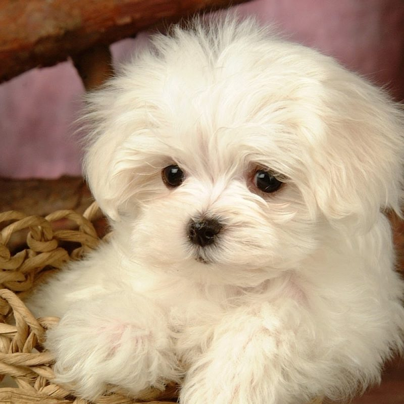 10 Latest Cute Baby Dogs Wallpaper FULL HD 1080p For PC Background 2020 free download cute baby dogs wallpaper download 800x800