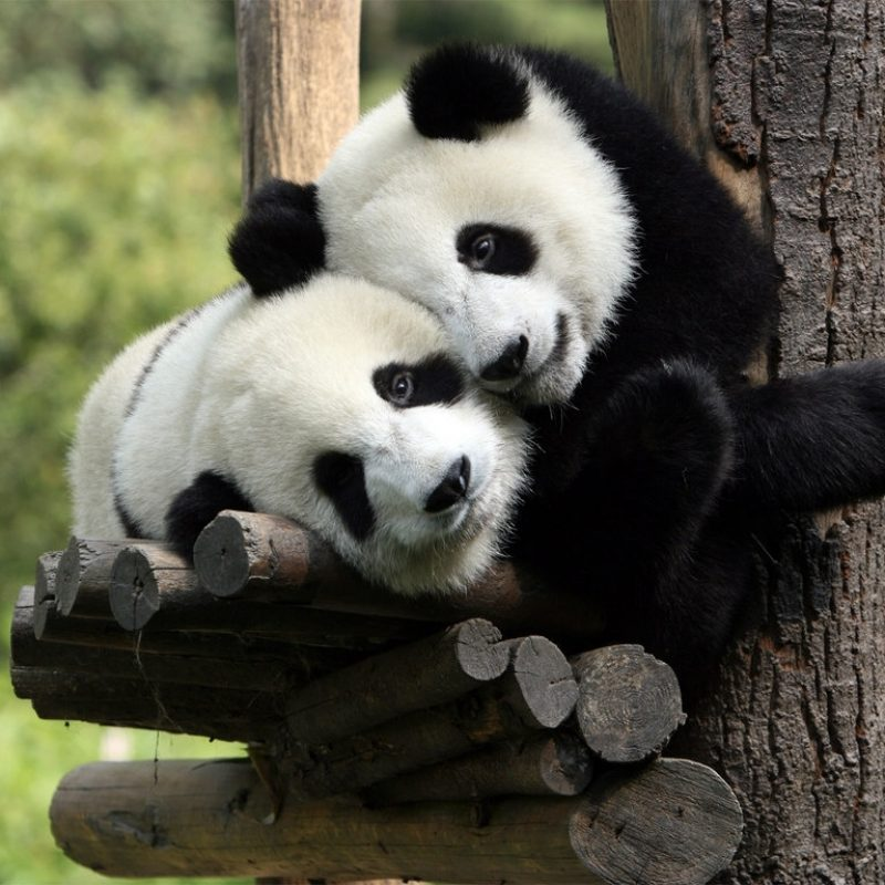 10 Best Cute Baby Panda Images FULL HD 1920×1080 For PC Background 2018 free download cute baby panda 2239 1024x768 px hdwallsource 800x800