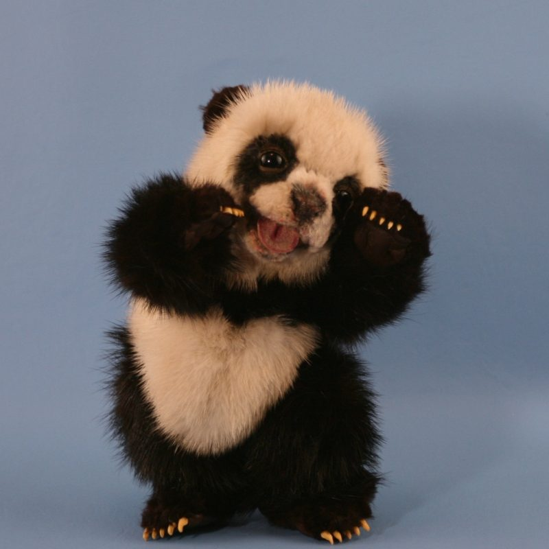 10 Best Cute Baby Panda Images FULL HD 1920×1080 For PC Background 2018 free download cute baby panda bears bing images awe too cute pinterest 800x800