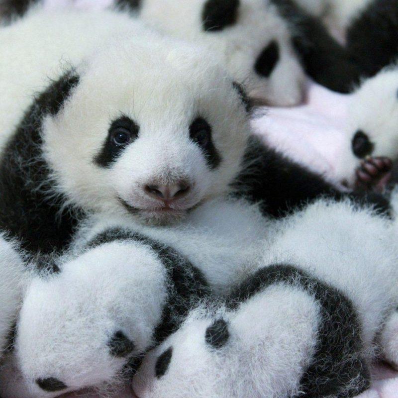 10 Best Cute Baby Panda Images FULL HD 1920×1080 For PC Background 2018 free download cute baby panda wallpaper 2018 cute screensavers 800x800