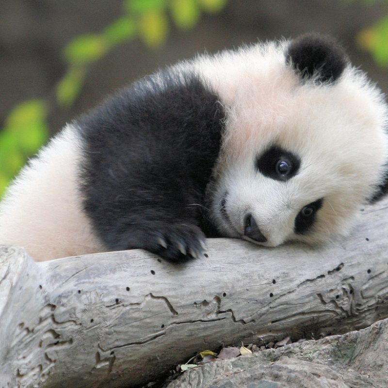 10 Best Cute Baby Panda Images FULL HD 1920×1080 For PC Background 2018 free download cute baby panda zhen zhen karl drilling flickr 800x800