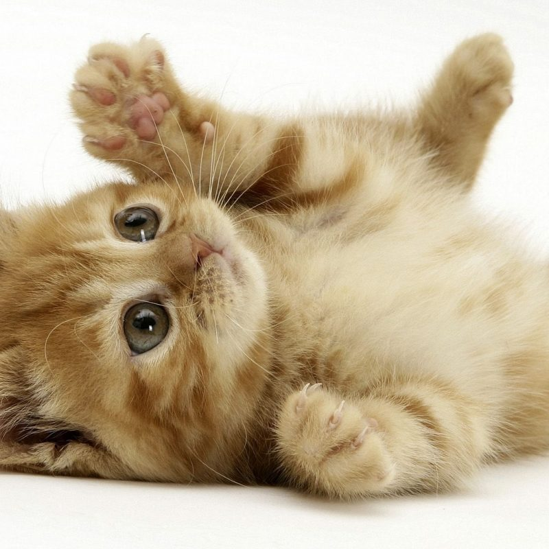 10 New Cute Baby Kitten Pics FULL HD 1920×1080 For PC Background 2018 free download cute baby puppies and kittens ladu walls adorable puppies and 800x800