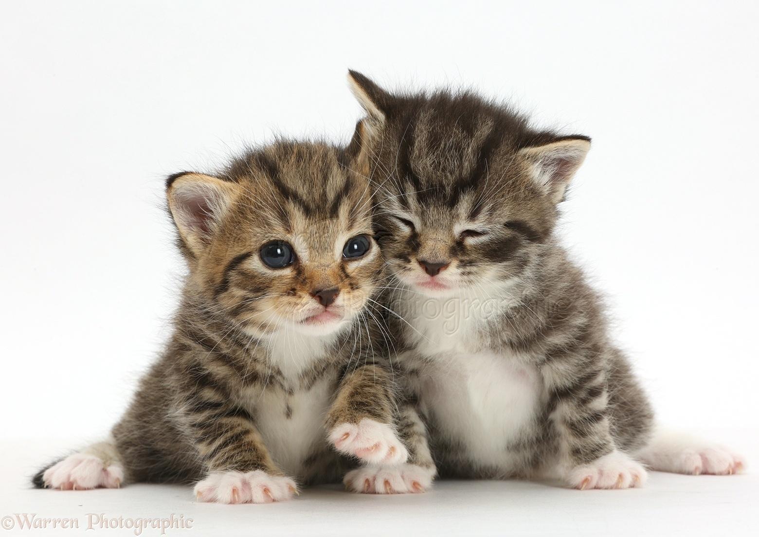 cute baby tabby kittens photo wp42078