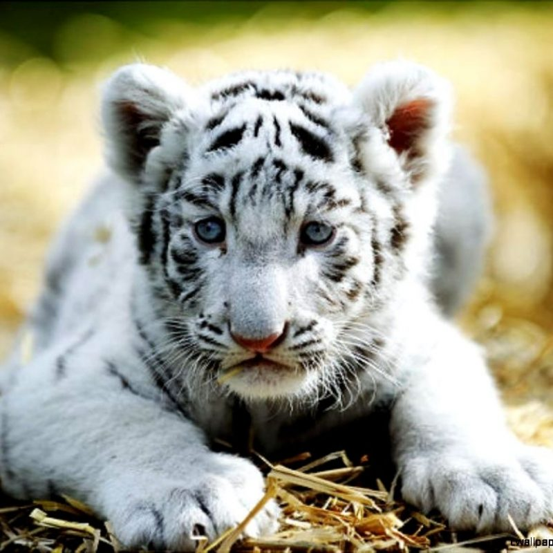 10 Most Popular Pictures Of Baby White Tigers FULL HD 1080p For PC Desktop 2020 free download cute baby white tigers wallpapers gallery 800x800