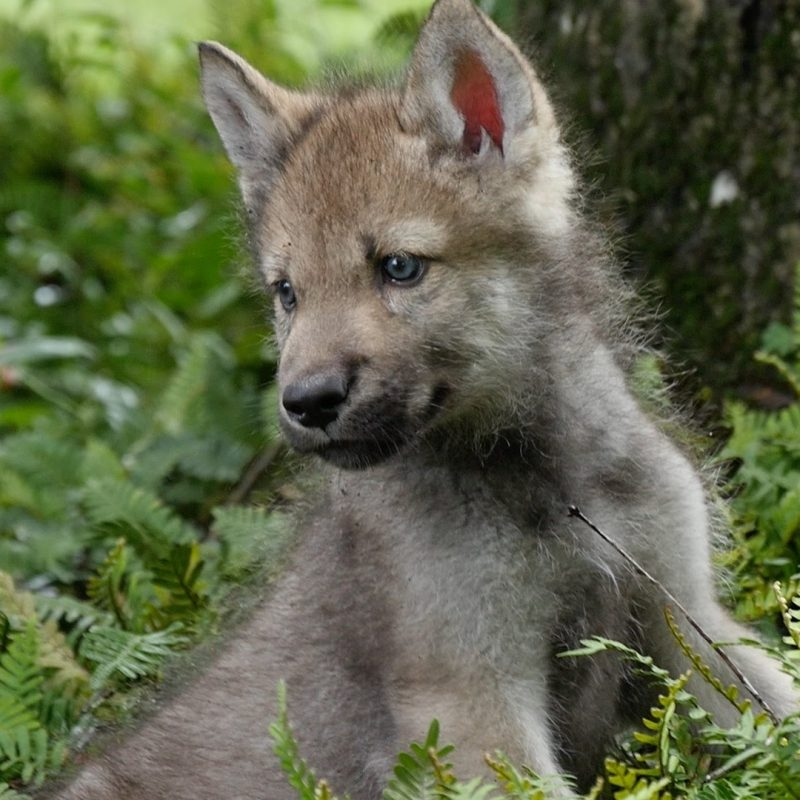 10 New Pictures Of Baby Wolfs FULL HD 1920×1080 For PC Background 2021 free download cute baby wolf pups go outside for the first time youtube 1 800x800