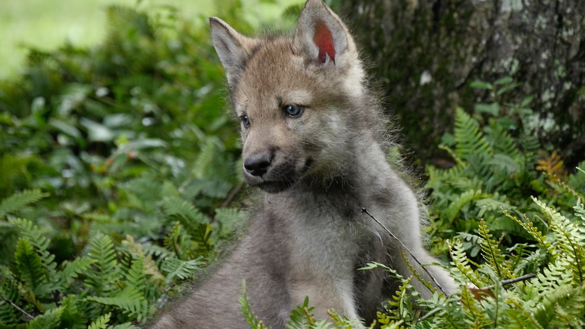 cute baby wolf pups go outside for the first time - youtube