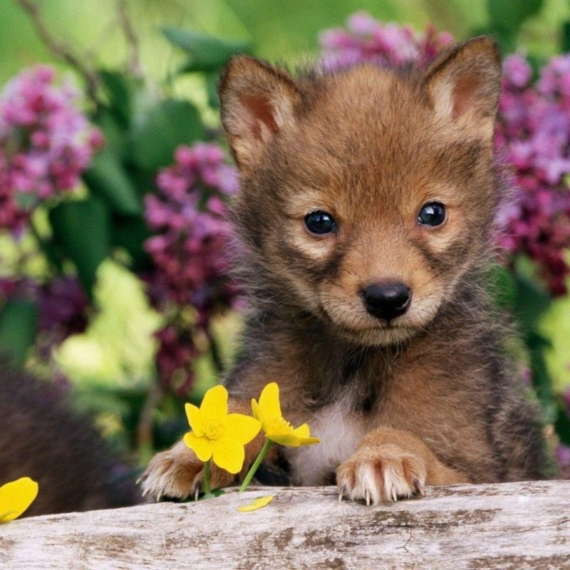 10 New Pictures Of Baby Wolfs FULL HD 1920×1080 For PC Background 2021 free download cute baby wolf wallpaper 58 images 800x800