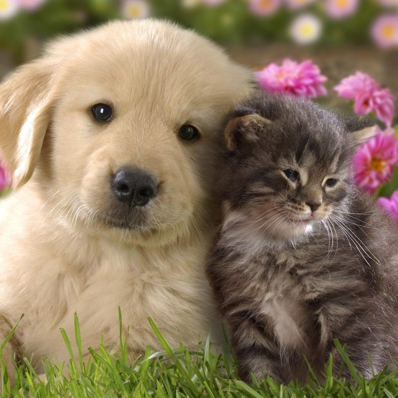 10 Best Dog And Cat Backgrounds FULL HD 1920×1080 For PC Background 2018 free download cute dog and cat wallpaper pixelstalk 800x800