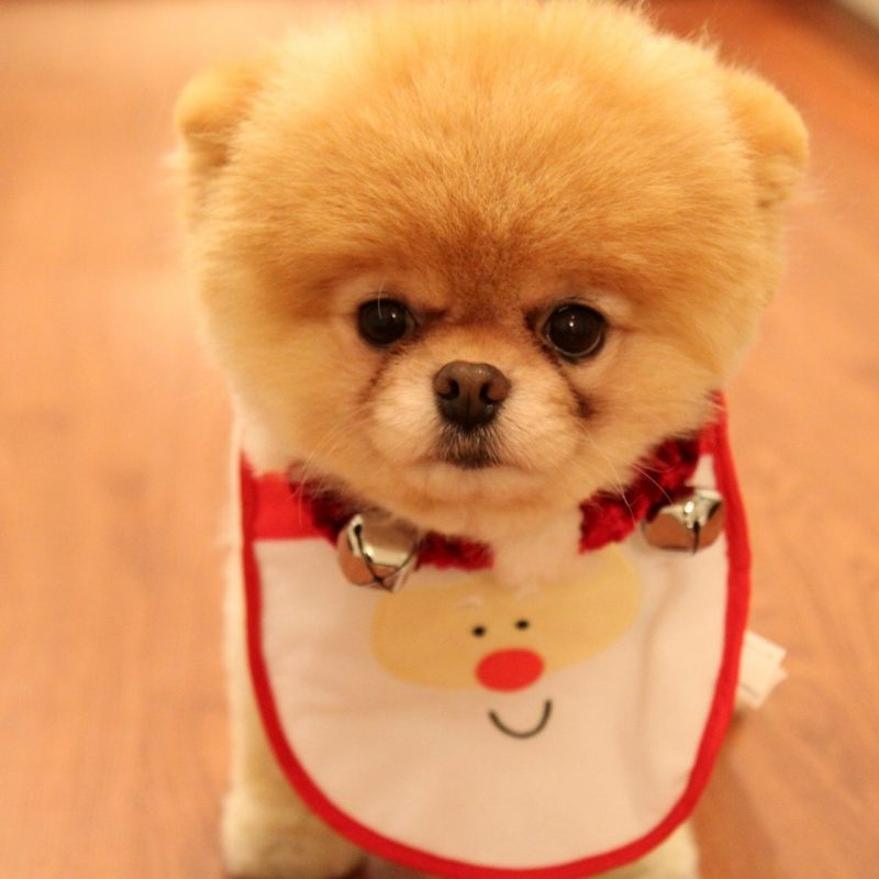 10 Top Cute Puppy Christmas Pictures FULL HD 1080p For PC Desktop 2020 free download cute dog christmas wallpapers in jpg format for free download 800x800
