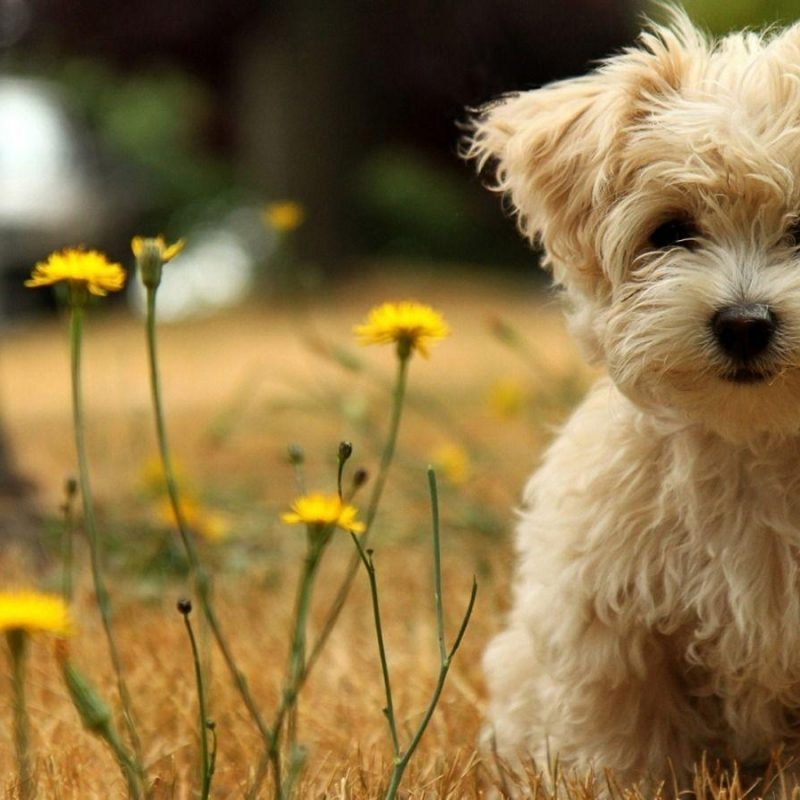 10 Most Popular Cute Puppy Wallpaper Hd FULL HD 1920×1080 For PC Desktop 2018 free download cute dogs and puppies wallpapers wallpaper cave 1 800x800