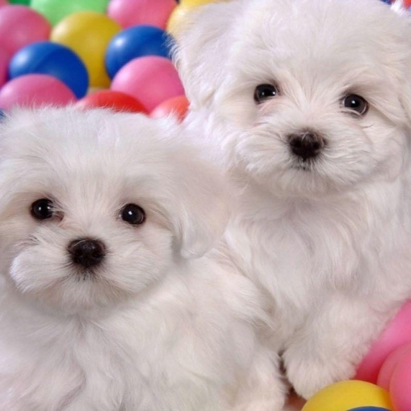 10 Top Cute Wallpapers Of Puppies FULL HD 1920×1080 For PC Background 2018 free download cute dogs and puppies wallpapers wallpaper cave 800x800