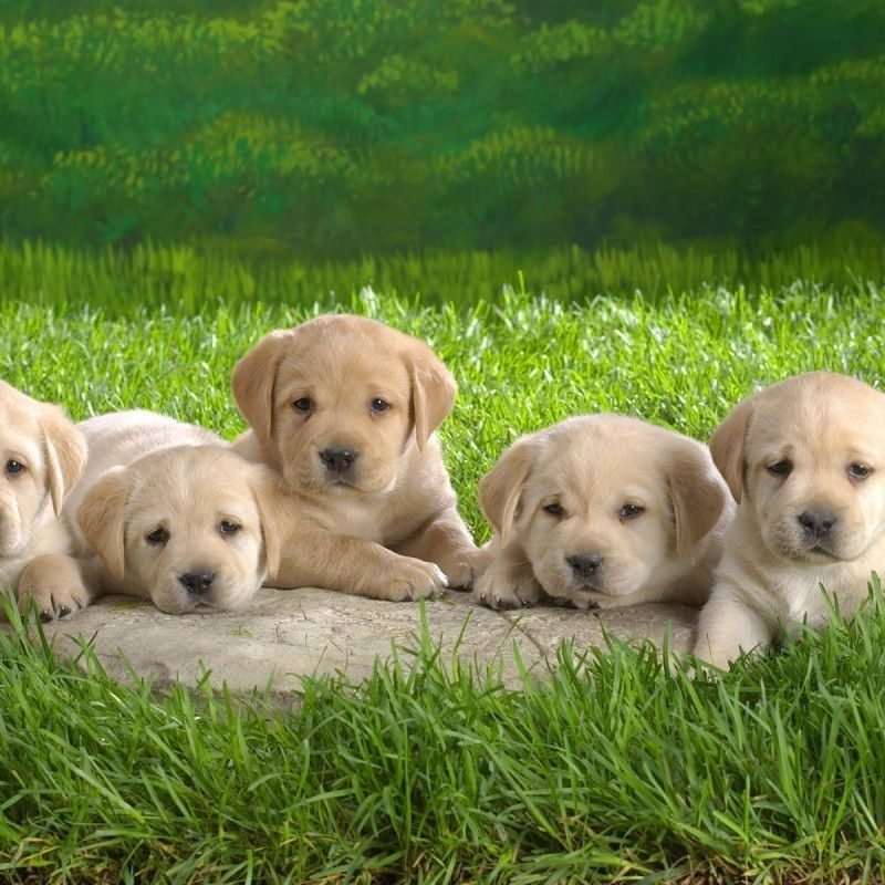 10 Most Popular Cute Puppy Wallpaper Hd FULL HD 1920×1080 For PC Desktop 2021 free download cute dogs and puppies wallpapers wallpaper cave images 800x800