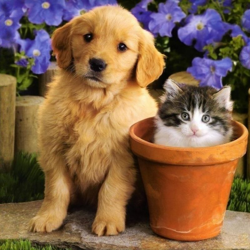 10 Top Puppies And Kittens Backgrounds FULL HD 1920×1080 For PC Background 2021 free download cute friends a golden moment pinterest dog cat dog and cat 1 800x800
