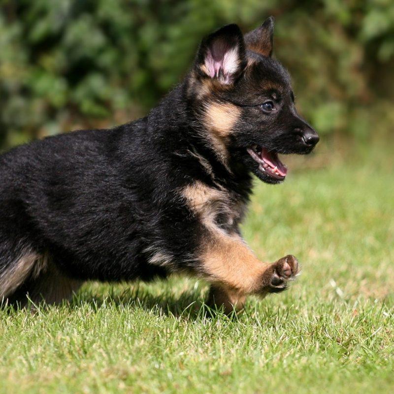 10 Most Popular German Shepherd Puppy Wallpaper FULL HD 1080p For PC Desktop 2021 free download cute german shepherd puppy wallpaper 800x800