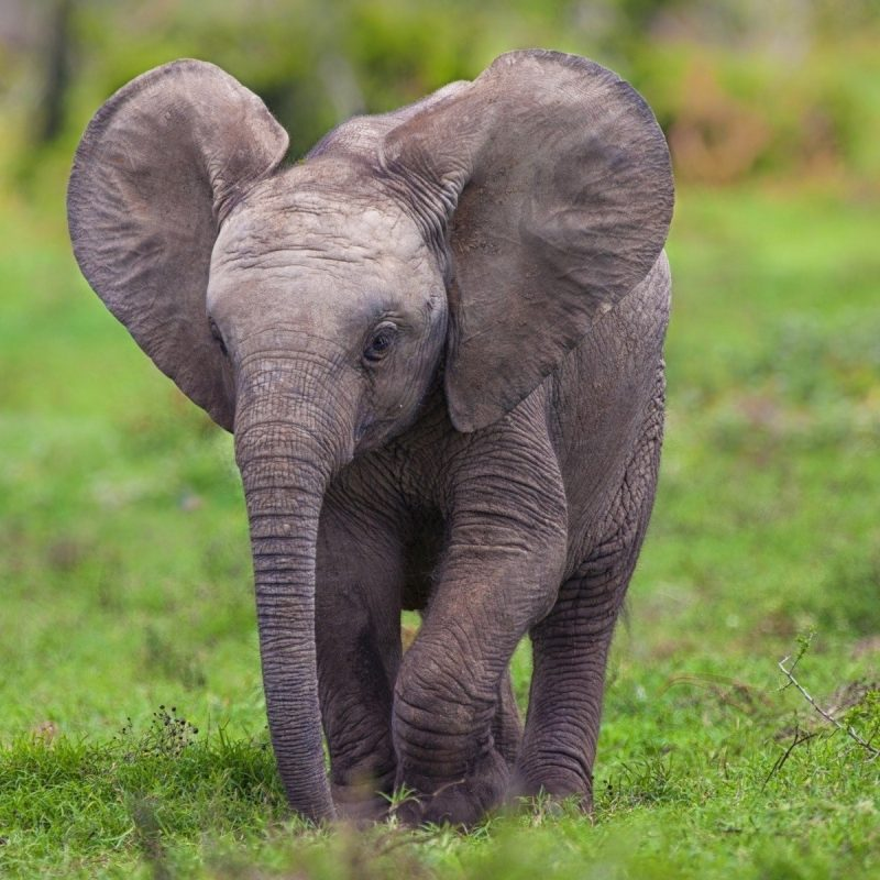 10 Top Picture Of A Baby Elephant FULL HD 1920×1080 For PC Desktop 2018 free download cute hd wallpapers of baby elephant download hd cute hd wallpapers 800x800
