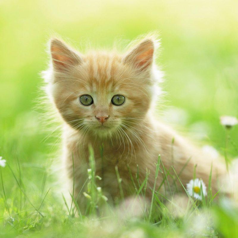10 Most Popular Cute Wallpapers Of Kittens FULL HD 1920×1080 For PC Desktop 2018 free download cute kitten wallpapers hd wallpapers id 8640 800x800