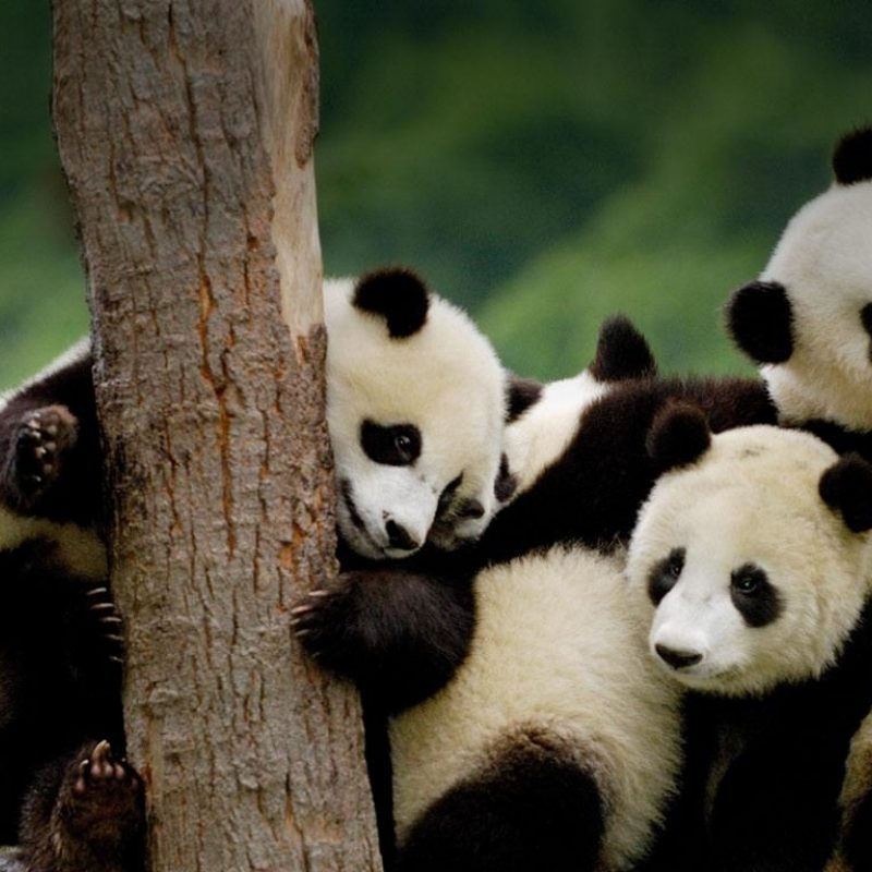 10 Latest Cute Baby Panda Wallpaper FULL HD 1080p For PC Desktop 2021 free download cute panda wallpapers cute panda wallpapers for free download 800x800
