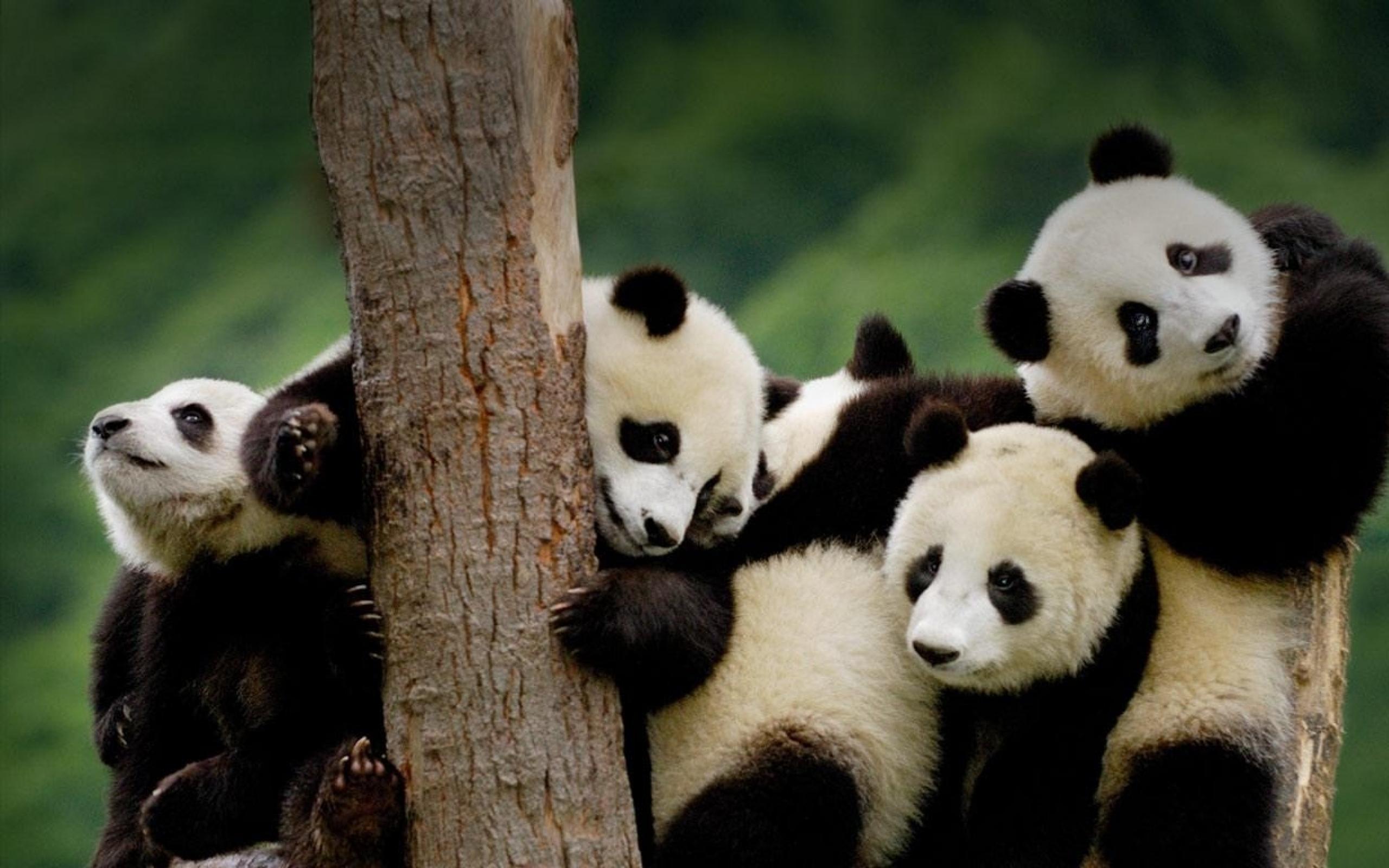 Title : cute panda wallpapers, cute panda wallpapers for free download. Dimension : 2560 x 1600. File Type : JPG/JPEG