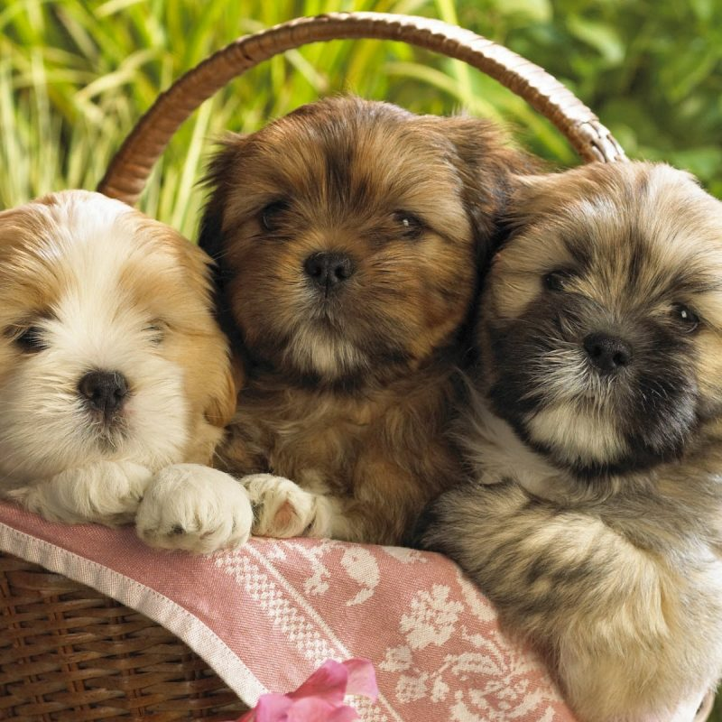 10 Best Cute Puppies Desktop Wallpaper FULL HD 1080p For PC Desktop 2018 free download cute puppies 2 wallpapers hd wallpapers id 8237 800x800