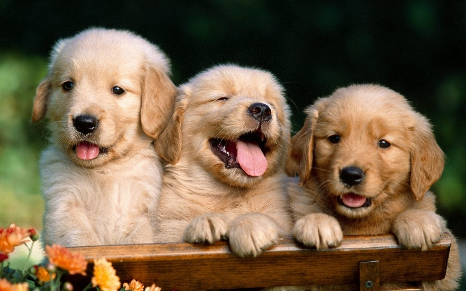 cute puppies photo dog wallpapers backgrounds   dogs wallpapers