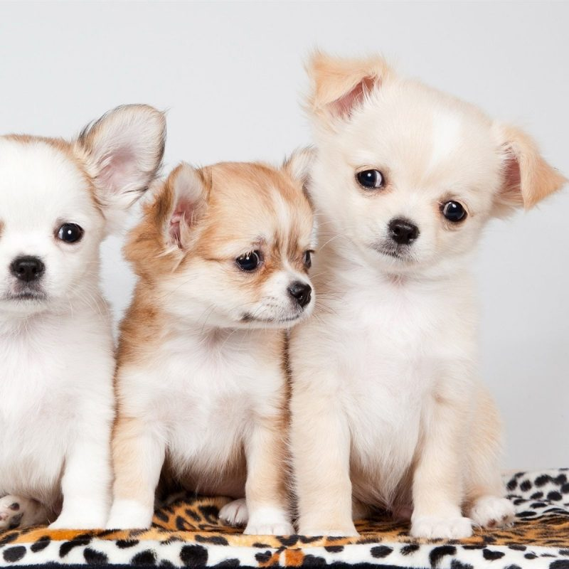 10 Top Cute Wallpapers Of Puppies FULL HD 1920×1080 For PC Background 2018 free download cute puppies wallpaper wallpaper clicker pinterest wallpaper 800x800