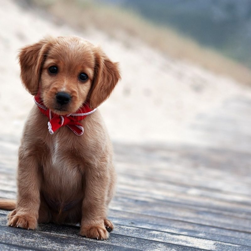 10 Top Puppies Wallpapers Free Download FULL HD 1080p For PC Background 2018 free download cute puppies wallpapers free download wallpapers hd wallpapers 800x800