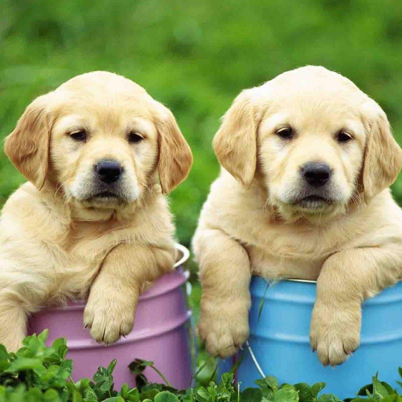 10 Most Popular Cute Puppy Wallpaper Hd FULL HD 1920×1080 For PC Desktop 2018 free download cute puppies wallpapers hd wallpaper cave 800x800