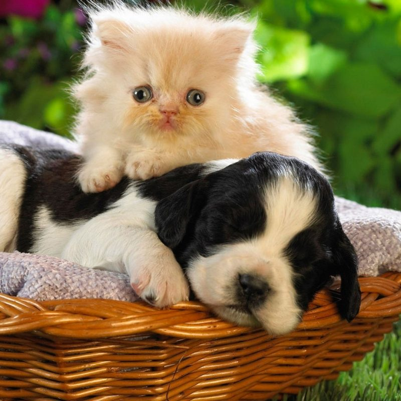 10 New Cute Puppies And Kittens Wallpaper FULL HD 1080p For PC Background 2020 free download cute puppy and kitten wallpaper hd wallpapers13 800x800