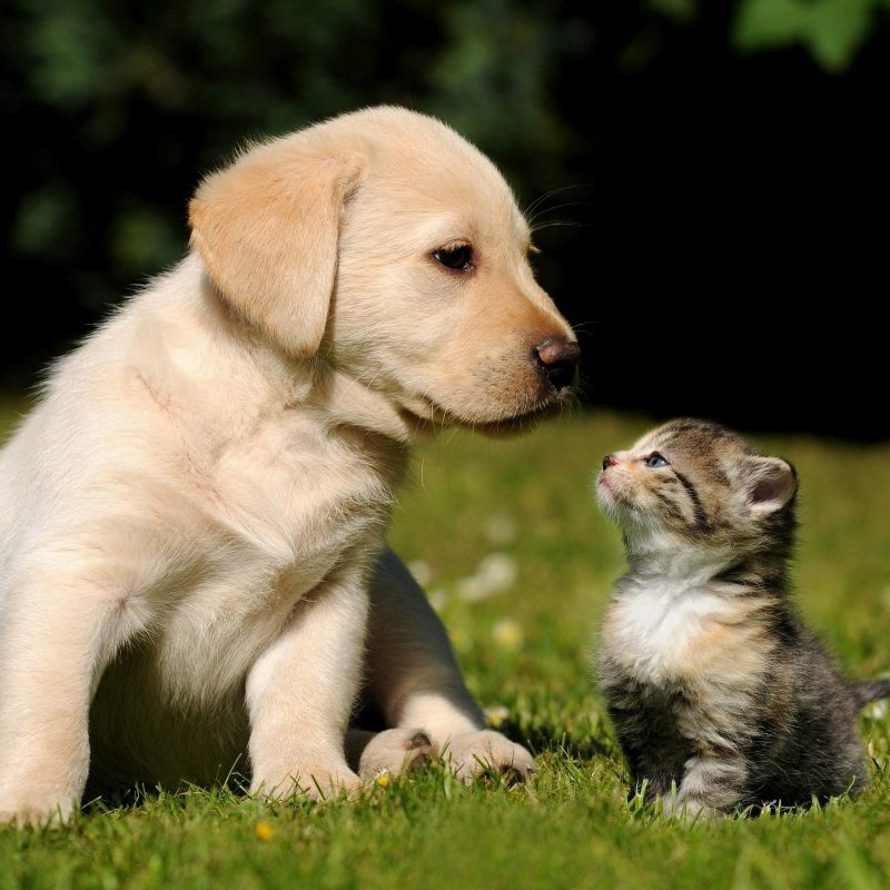 10 Top Puppies And Kittens Wallpaper FULL HD 1920×1080 For PC Background 2018 free download cute puppy and kitten wallpapers 58 images 2 800x800