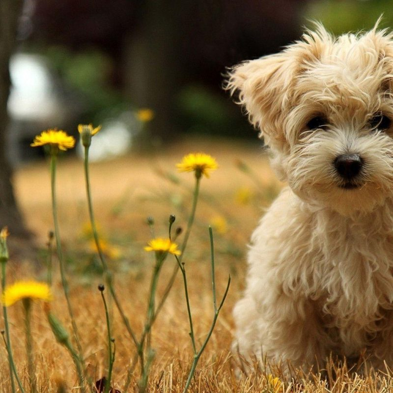 10 Best Cute Puppies Desktop Wallpaper FULL HD 1080p For PC Desktop 2018 free download cute puppy desktop wallpapers wallpaper cave 800x800