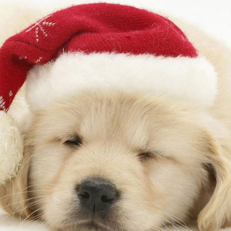 10 Top Cute Puppy Christmas Pictures FULL HD 1080p For PC Desktop 2020 free download cute puppy in christmas hat iphone 6 wallpaper christmas wallpaper 800x800