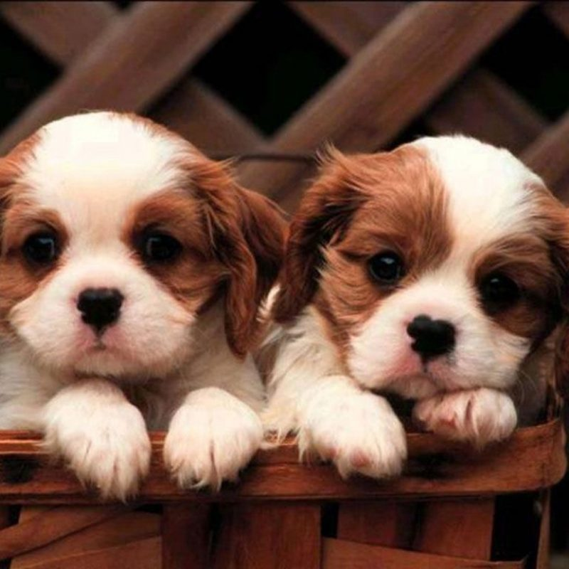10 New Cute Puppy Pictures Wallpaper FULL HD 1080p For PC Background 2020 free download cute puppy wallpapers full hd 1080p best hd cute puppy wallpapers 1 800x800