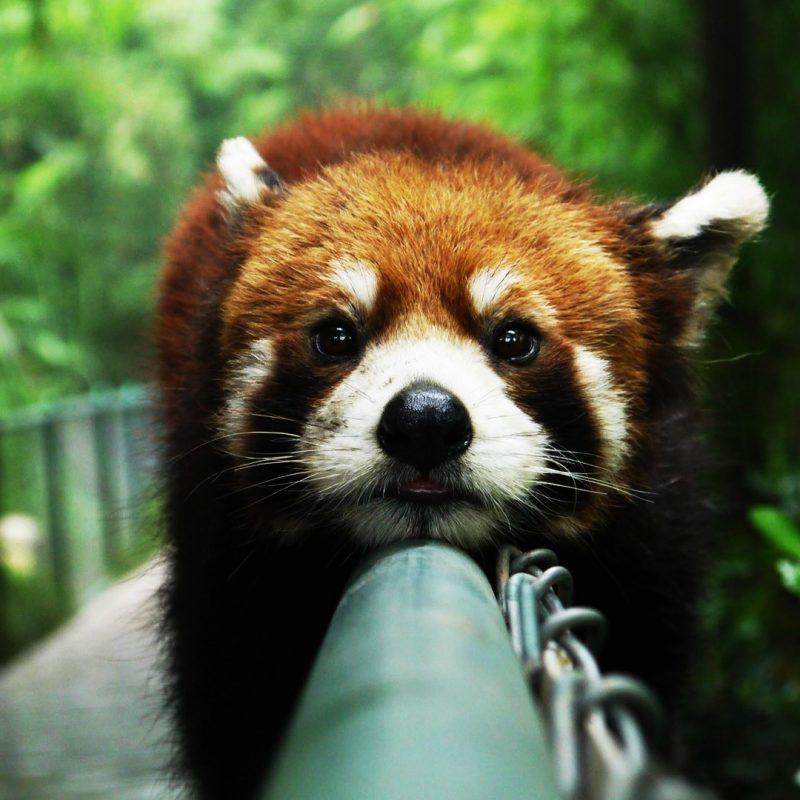 10 Latest Red Panda Wallpaper 1920X1080 FULL HD 1920×1080 For PC Desktop 2021 free download cute red panda wallpaper 27523 1920x1080 px hdwallsource 800x800