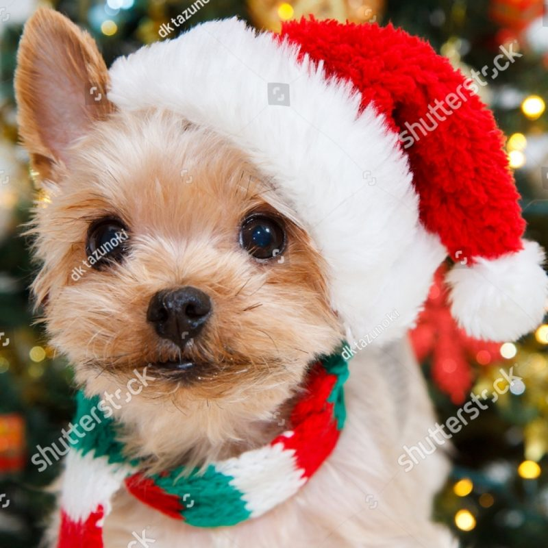 10 Top Cute Puppy Christmas Pictures FULL HD 1080p For PC Desktop 2020 free download cute sitting yorkshire terrier puppy dog stock photo royalty free 800x800