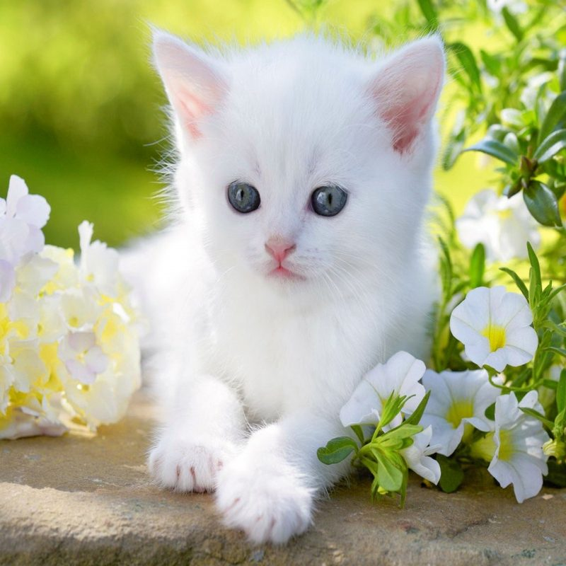 10 New Cute White Cat Pictures FULL HD 1920×1080 For PC Desktop 2020 free download cute white cat album on imgur 800x800
