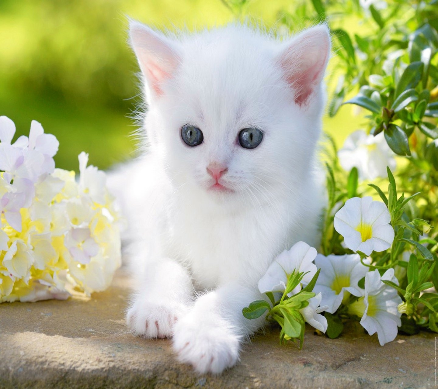 cute white cat - album on imgur