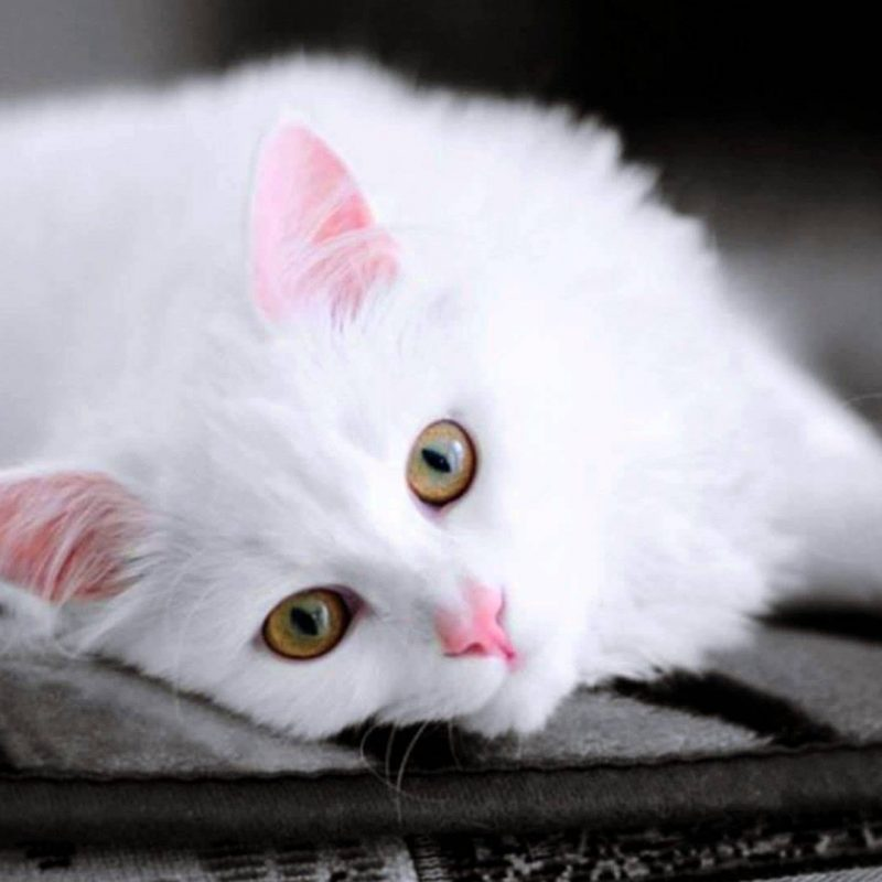 10 New Cute White Cat Pictures FULL HD 1920×1080 For PC Desktop 2020 free download cute white cat pictures youtube 800x800