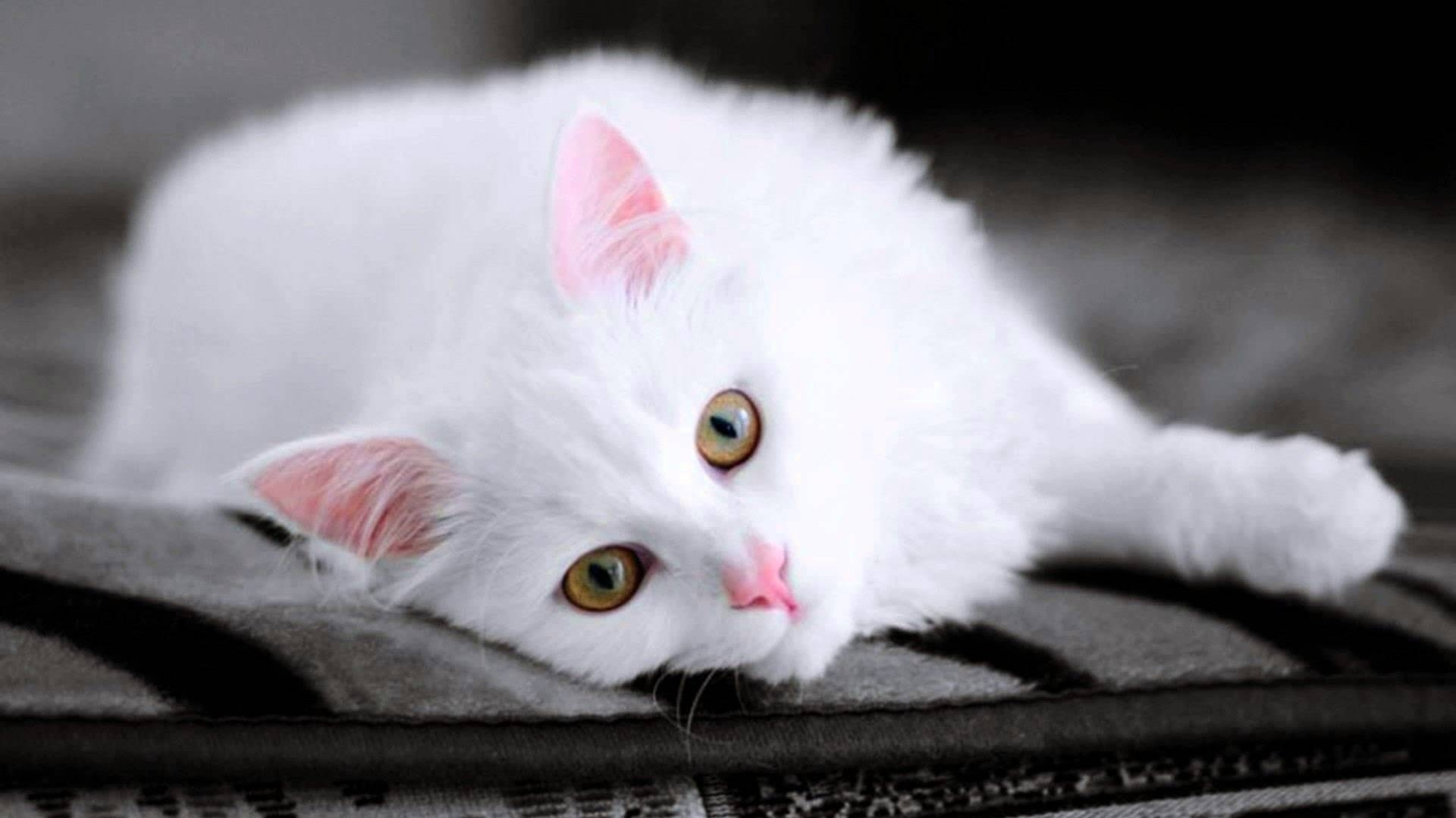 cute white cat pictures - youtube