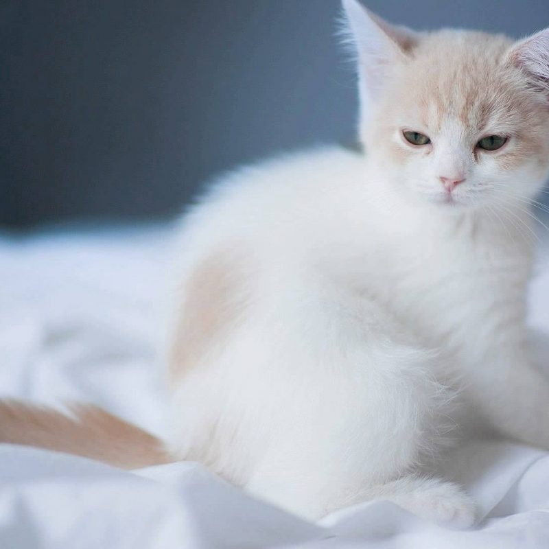 10 New Cute White Cat Pictures FULL HD 1920×1080 For PC Desktop 2020 free download cute white cat wallpaper youtube 800x800
