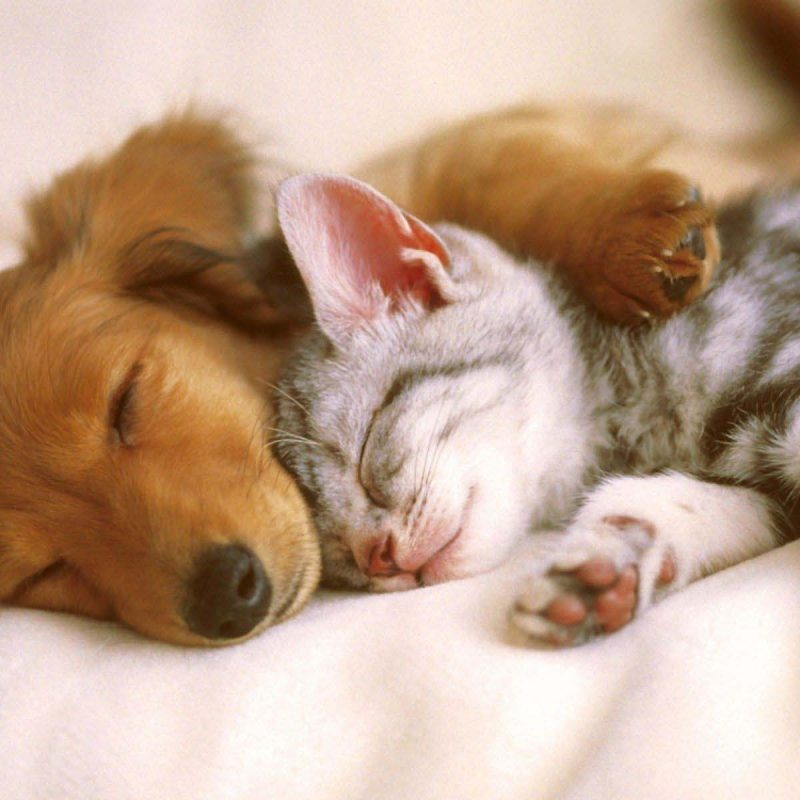 10 Latest Cute Puppy And Kitten Pics FULL HD 1080p For PC Desktop 2018 free download cutest kittens puppy falling asleep funny gifs 800x800