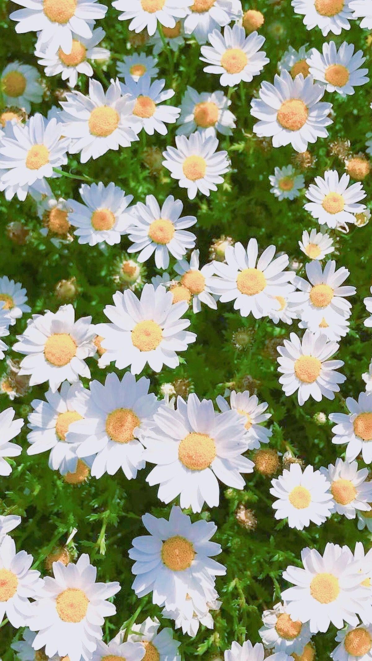 daisies - daisy - flowers - white - colours - wallpaper - tumblr