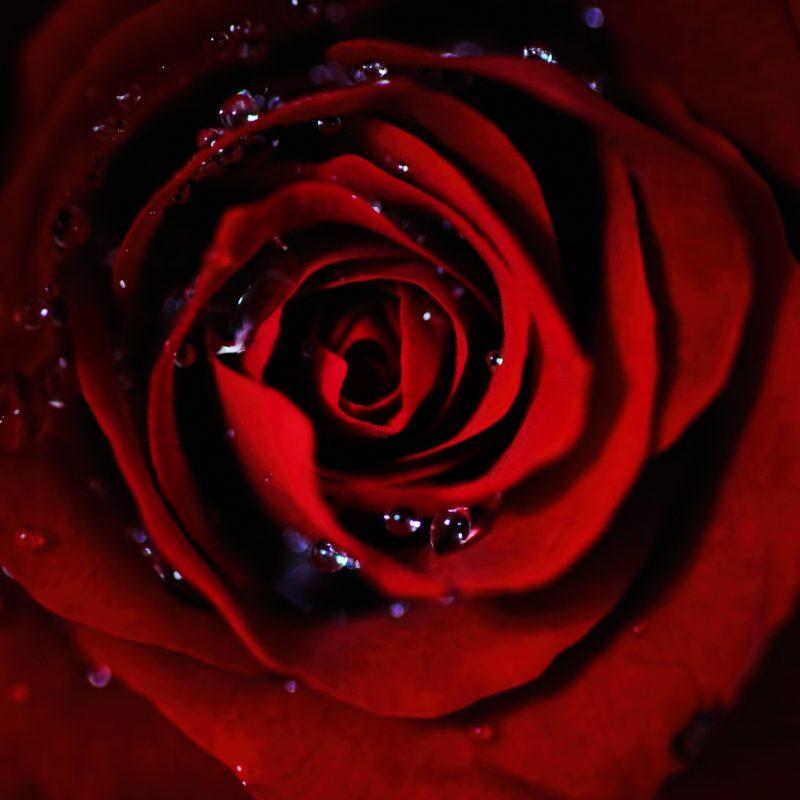 10 Top Dark Red Rose Wallpapers FULL HD 1080p For PC Desktop 2020 free download dark red rose e29da4 4k hd desktop wallpaper for 4k ultra hd tv e280a2 wide 800x800